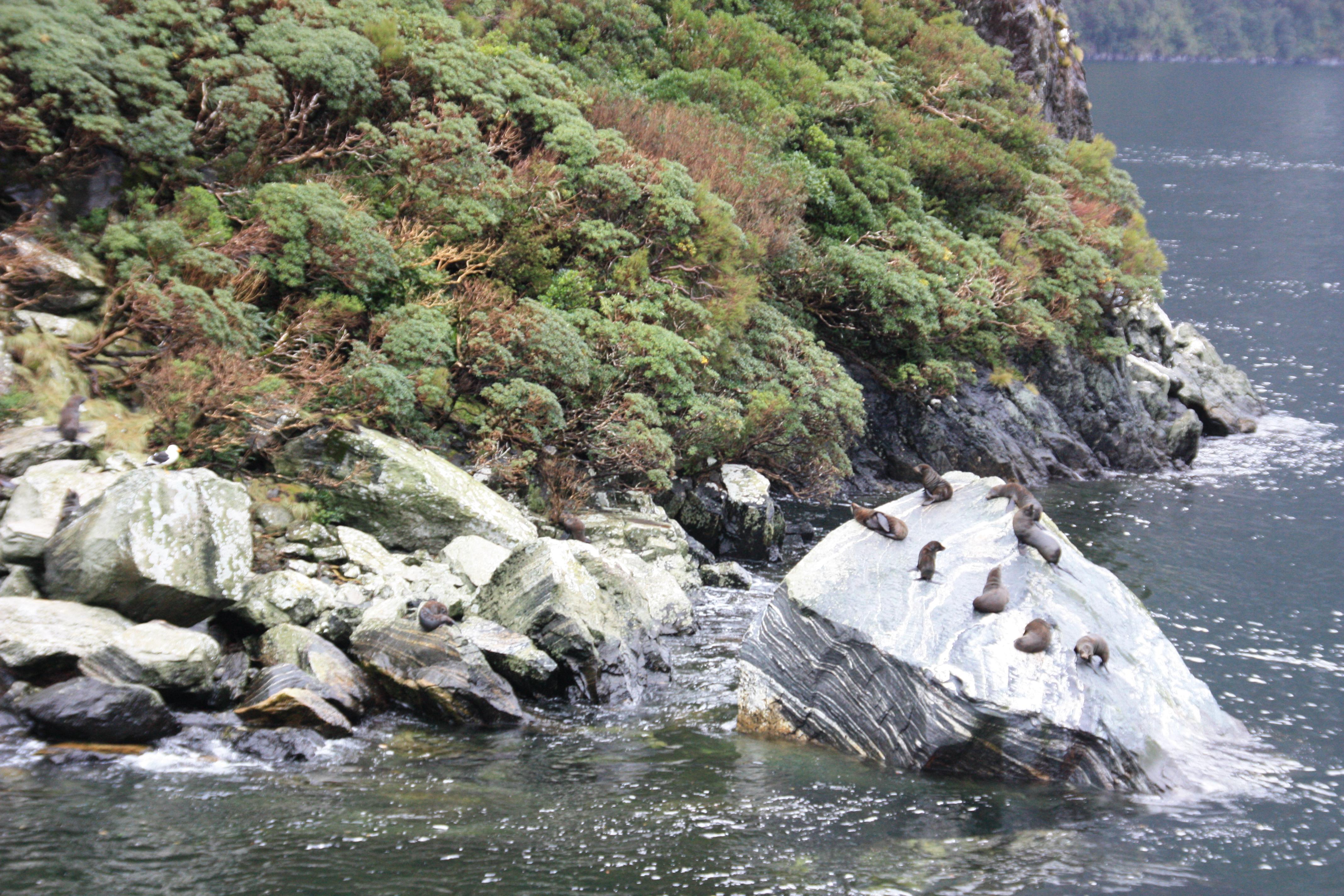 Foques a Milford Sound