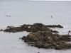 Pingüins a Coromandel